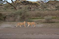 Just playing (for now) (Ring a Ding Ding) Tags: 2017 africa bigcat lion ndutu nomad pantheraleo serengeti tanzania action cat cubs nature playfighting predator safari wildcat wildlife arusharegion coth ngc