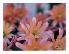 cereus cactus in bloom at depot (EllenJo) Tags: cereus cactus flower bloom verdecanyonrailroaddepot may24 2017 ellenjo polaroidpathfinder fujifp100c fujiinstantfilm clarkdalearizona closeuplensplus2 closeuplens f56 160 springtimeinaz az