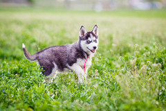 Siberian Husky Puppies (Gaby Deac) Tags: dog blackandwhite grass animal cute lovely green happy pet blueeyes wolf fluffy gabbydeac husky awesome gabydeac canine dogphotographer dogportrait siberianhusky snowdog sleeddog blueeyedhusky blueeyesdog portrait beauty love nature funny cuteness animalphotography puppies puppy huskypuppy huskypuppies siberianhuskypuppies spring