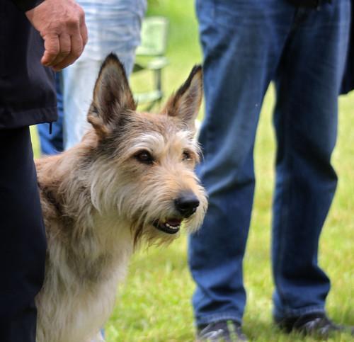 Berger Picard at dog show