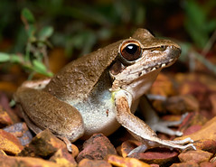 Wotjulum Frog (Michael Aagaard Photography) Tags: australia australian d5200 darwin nikon nikond5200 northernterritory tamron macro frog frogs litoriawotjulumensis wotjulum litoria amphibians amphibian animal animals outback outdoors eye eyes bokeh herpetology flash color colour colourful colorful dof lowdepthoffield depthoffield