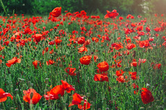 Poppies: #3. (Emykla) Tags: fiori flowers papaveri papavero poppy poppies italia italy nikon d3100 red rosso piante green verde field may maggio spring primavera tramonto sunset