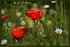 Papaveri e margherite -Giugno-2017 (agostinodascoli) Tags: papaveri fiori margherite pratofiorito nature texture nikon nikkor cianciana sicilia agostinodascoli