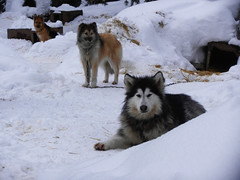 Curious dogs (lmundy2002) Tags: dogs dogsled dogsledding huskies sleds whitefish olney whitefishmt olneymt montana mt winter wintersports
