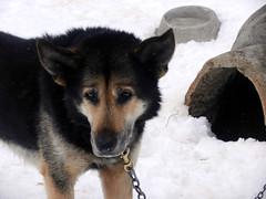 Dog portrait #1 (lmundy2002) Tags: dogs dogsled dogsledding huskies sleds whitefish olney whitefishmt olneymt montana mt winter wintersports