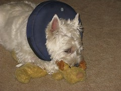 5/12B ~ Riley, asleep with his stuffie! (ellenc995) Tags: riley westie toy stuffie westhighlandwhiteterrier 12monthsfordogs17 thegalaxy thesunshinegroup coth rubyphotographer coth5 supershot sunrays5 challengeclub abigfave pet100 pet500 pet1000 100commentgroup pet1500