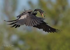 Male Anhinga, so happy to be coming home! (MyKeyC) Tags: male anhingaanhinga bird turkeybird calling snakebird flying flight anhinga birds