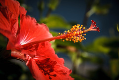 Hibiscus Macro (http://fineartamerica.com/profiles/robert-bales.ht) Tags: arizona foothills forupload hibiscus places plants projects states flowers plant red hibiscusdisambiguation mallow warmtemperate subtropical sorrel flordejamaica rosemallow perennial herbaceous shrubs tree trumpetshaped white pink orange yellow beautiful sensational spectacular awesome magnificent peaceful robertbales magical colorful canonshooter haybales wow stupendous tranquil butterflies bees hummingbirds petal nature flower bloom floral blossom iphone greetingcards macro