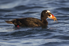 Surf Scoter with a Tiny Crab (Jeff Dyck) Tags: surf scoter surfscoter melanittaperspicillata esquimalt bc britishcolumbia crab prey duck seaduck drake male birds jeffdyck