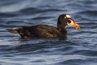 Surf Scoter with a Tiny Crab