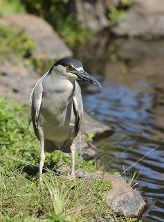 EOS12869 (View Large). Black-crowned Night Heron. Wailea Maui Hawaii