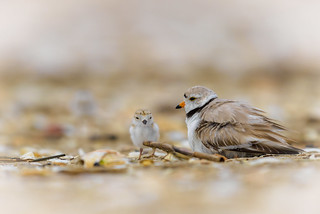 Piping Plovers - Mother & Chick