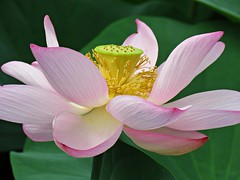 lotus (oneroadlucky) Tags: nature plant flower pink lotus waterlily green