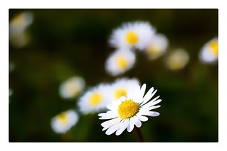 Simply... daisies ( on explore 24 - 05 - 2017)