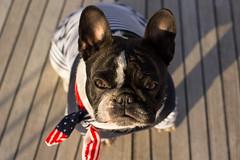 DSC06523 (Anastasia Neto) Tags: dog dogphotography dogmodel dogs dogphotographer cutepuppies cutepuppy frenchbulldog frenchies frenchie funnydog frenchbulldogs funnydogs petmodel puppies puppy petphotography petphotographer pet