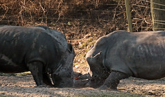 white rhino Burgerszoo JN6A5664 (joankok) Tags: rhino rhinoceros witteneushoorn whiterhino breedlipneushoorn neushoorn mammal zoogdier dier animal africa afrika burgerszoo herbivore