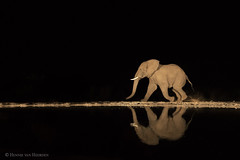 Destination (hvhe1) Tags: wildlife nature animal mammal elephant éléfant olifant africanelephant loxodontaafricana zimanga umgodihide africa southafrica privategamereserve gamedrive overnighthide safari night dark black running reflection hvhe1 hennievanheerden specanimal