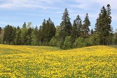 Springvale, PEI (Craigford) Tags: milton pei canada dandelions trees field springvale