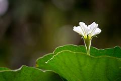 IMG_1914-2 (Ajith Panayil) Tags: flower white nature landscape green leaf single kerala trivandrum