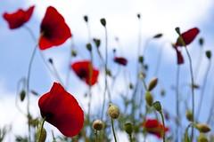 Voyage dans la profondeur de champ (Gerard Hermand) Tags: 1705048021 gerardhermand france malaucène vaucluse canon eos5dmarkii formatpaysage coquelicot poppy rouge red fleur flower ciel sky nuage cloud pdc dof