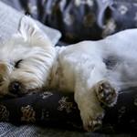 My dog Bo thumbnail