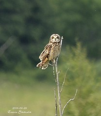 Short-eared owl / Jorduggla  (Asio flammeus) (Carin Säärelä) Tags: jorduggla shorteared owl