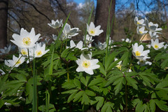 Anemone nemorosa (talaakso) Tags: anemonenemorosa blomma buschwindröschen flower hvitveis kukka terolaakso valkovuokko vitsippa smellfox talaakso thimbleweed wildflower windflower woodanemone