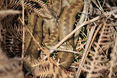 Vipera Berus - Female. (ChristianMoss) Tags: reptile snake adder nature photography wildlife photo vipera berus tangle