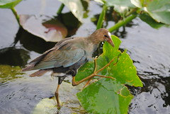 INMATURE PURPLE GALLINULE (concep1941) Tags: birds aquaticbirds railfamily freshwatermarshes nature