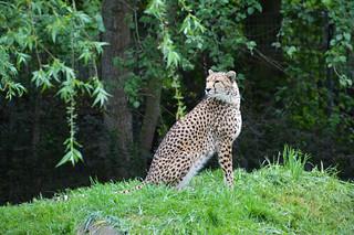 Sudan Cheetah (Acinonyx jubatus soemmeringii)