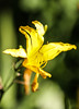 Still Beautiful (despite brown edges) (wyojones) Tags: huntsville texas samhoustonmuseum yellow flower daylily hemerocallis petals sepals tepals stamens anther beautiful pretty plant