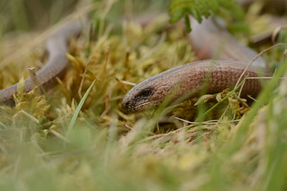 male slowworm (Anguis fragilis)