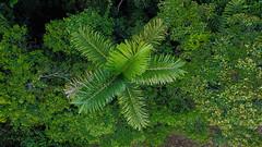 Chonta Palm Tree at Finca PermaTree (yago1.com) Tags: permatree southamerica permaculture sustainable zamorachinchipe green nature