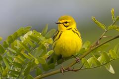 BJ8A8043-Prairie Warbler (tfells) Tags: prairiewarbler bird nature songbird passerine baldpatemountain newjersey mercer