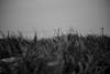head wind (N.sino) Tags: m9 summilux50mm leica weed headwind man electricpole kiarazu egawabeach grassy 電柱 草むら 電線 男 向かい風 藪 雑草 ゴミ 木更津 江川海岸