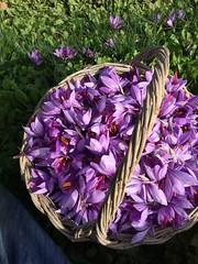 RACCOLTA FIORI DI ZAFFERANO (Anna Rita Di Barnaba www.zaffineria.com) Tags: fiori zafferano raccolta ottobrenovembre