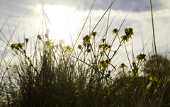 Flowers on the dunes (Colin Hogan1) Tags: netherlands backlighting flowers sanddunes sun