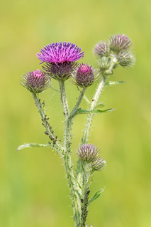 Colony on a thistle