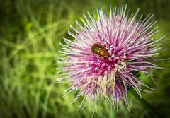 Buggy..;) (Jims_photos) Tags: wimberley texas unitedstates wildflowers outdoor outside adobelightroom adobephotoshop daytime flowers jimallen jimsphotos jimsphotoswimberleytexas lightroom landscape nopeople