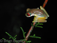 Rufous-eyed brook frog (Brian Eagar Nature Photography) Tags: crarc costarica costaricaamphibianresearchcenter amphibian frog treefrog rufouseyedbrookfrog brookfrog duellmanohyla duellmanohylarufioculis animal wild wildlife nature outdoor outside macro branch night dark nocturnal