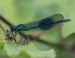 Banded Demoiselle eating a mayfly (ArtFrames) Tags: damselfly uk