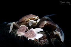 Anemone Porcelain Crab (Neopetrolisthes maculatus) (Randi Ang) Tags: anemone porcelain crab neopetrolisthesmaculatus padang bai bali indonesia padangbai underwater scuba diving dive photography macro randi ang canon eos 6d 100mm randiang