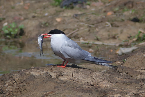 Common Tern (with fish)