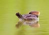 _53F6970 Common Merganser (~ Michaela Sagatova ~) Tags: birdphotography canonphotography commonmerganser duck michaelasagatova