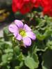 Oxalis corniculata - Acetosella dei campi (vincenzolerro) Tags: 05062017t77fiori languageofflowers