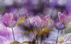 Flower Party :-) (Hana's images) Tags: bokeh beautiful d3100 clematis
