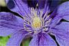 Fresh Clematis (Hindrik S) Tags: flower fantasticflower blue blom bloem blume skepping schepping schöpfung creation nature natuur natoer natuer hd hdr paintshoppro x8 2017 garden garten tún tuin sonyphotographing sony sonyalpha a57 α57 slta57 tamron tamronspaf90mmf28dimacro 90mm amount