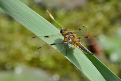 Four Spot Dragonfly (bschl) Tags: dmctz101 91mm 1200s p1030829jpg