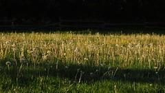 Löwenzahn (Taraxacum sp.); Bergenhusen, Stapelholm (56) (Chironius) Tags: stapelholm bergenhusen schleswigholstein deutschland germany allemagne alemania germania германия niemcy asterids campanuliids asterales korbblütler asteraceae cichorioideae cichorieae taraxacum löwenzahn gelb blüte blossom flower fleur flor fiore blüten цветок цветение