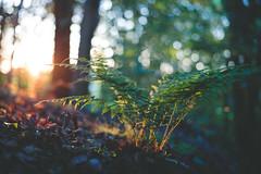 Bedtime story (sue.konvalinkova) Tags: wood forest fern sunset sunbeams evening goldenhour magicalhour bokeh beautiful onawalk goodnight light atmosphere nature sun warm dreamworld
